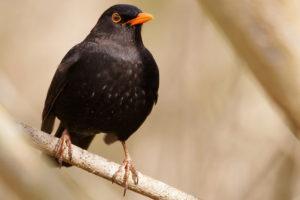 250.000 gemeldete Amseln: Klingt viel, ist jedoch Grund zur Sorge für die Vogelexperten.  - Foto: Rüdiger Arp